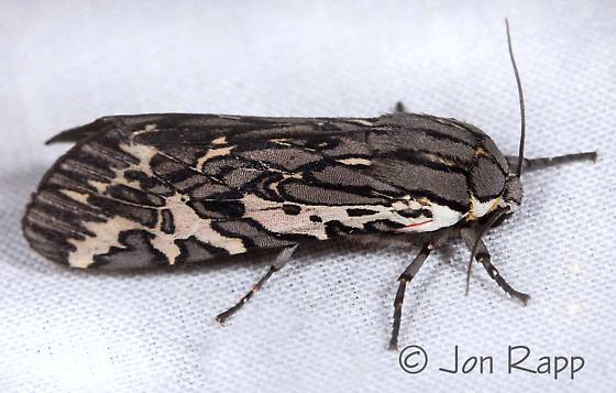 Tiger Moth - Arachnis aulaea