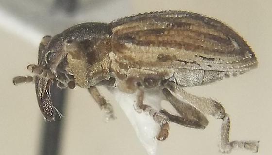 Notiodes setosus LeConte - Notiodes setosus