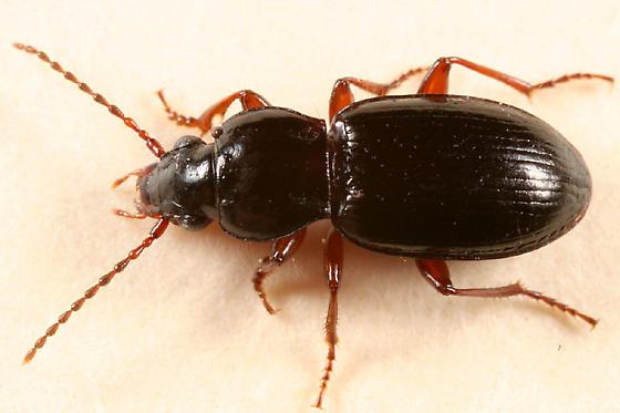 ground beetle - Gastrellarius honestus
