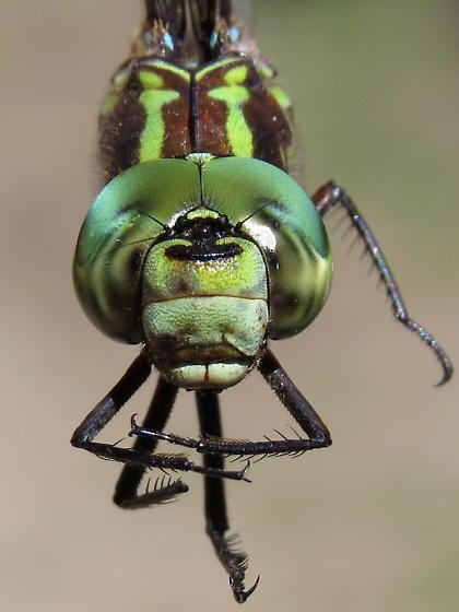 Green-striped Darner - Aeshna verticalis - male