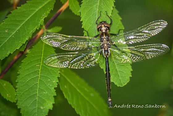 black with gold dragonfly - Somatochlora walshii - male