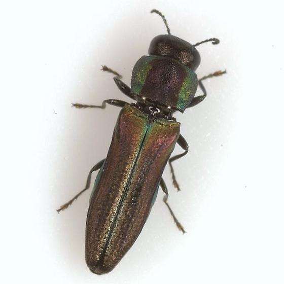 Agrilaxia flavimana (Gory) - Agrilaxia flavimana