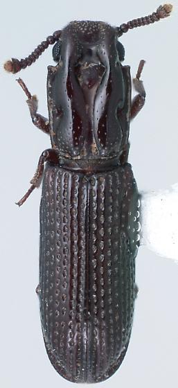 Lobogestoria gibbicollis Reitter - Lobogestoria gibbicollis