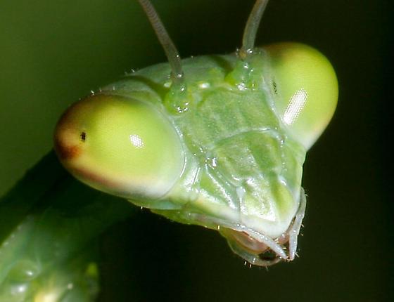 Praying Mantis - Species ID  ? - Tenodera sinensis