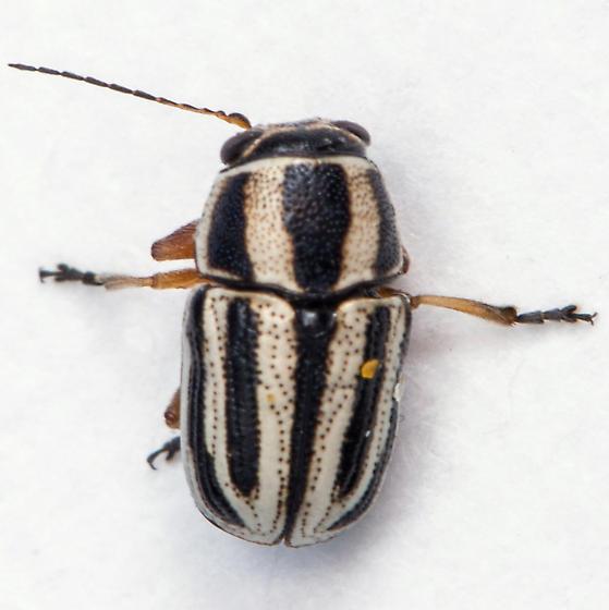 Black And White Striped Beetle Pachybrachis Virgatus