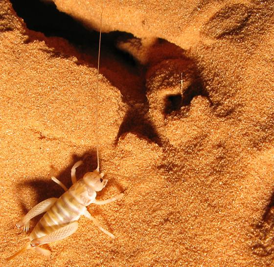 desert camel cricket - Daihinibaenetes - female