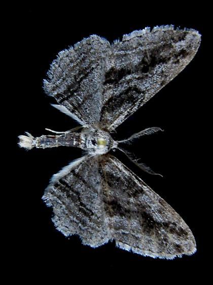 S. excelsaria - Stenoporpia excelsaria