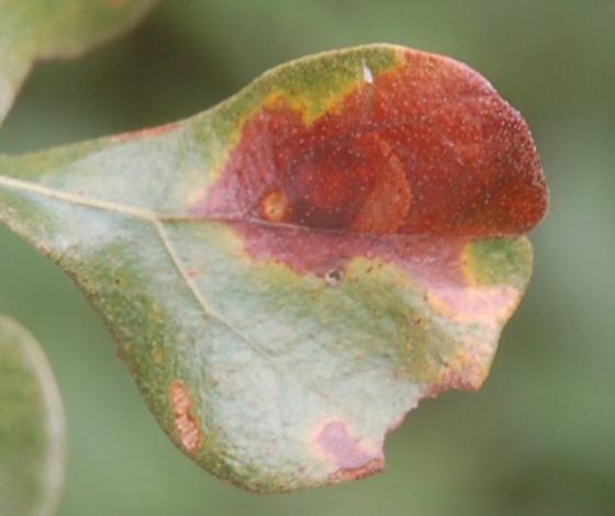 St. Andrews leaf miner on Quercus stellata SA1112 2017 1