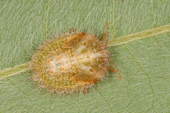 Globular Stink Bug Nymph - Megacopta cribraria