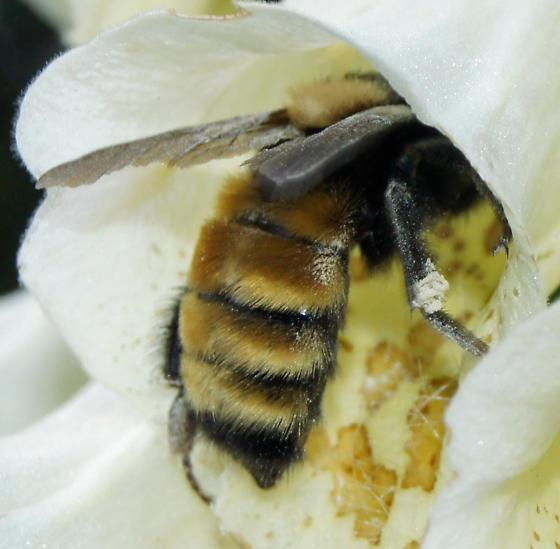 bee with strange triangle patch on back - Bombus borealis