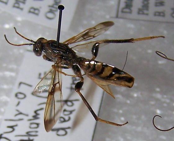 Ibalia anceps - female