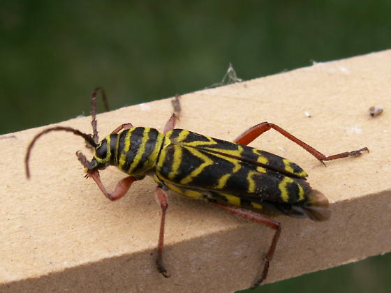 Black and Yellow striped bugs on Globe Locust Trees - Megacyllene robiniae