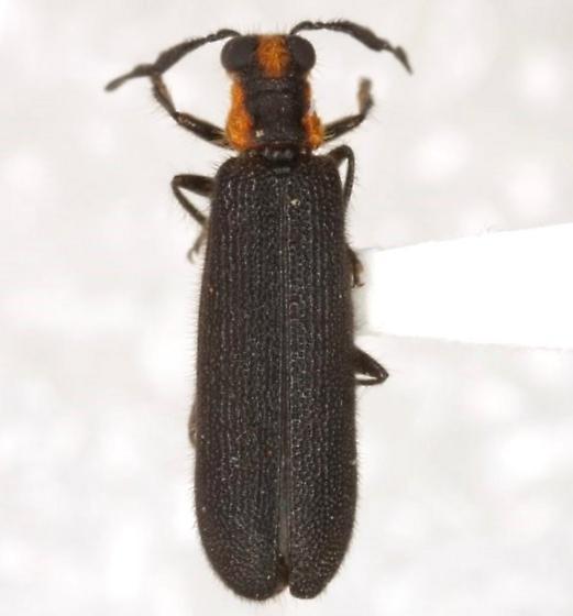 Pyticeroides laticornis (Say) - Pyticeroides laticornis