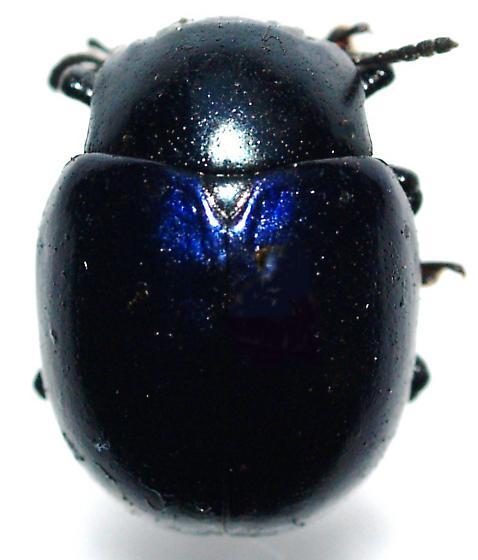 Dark blue Leptinotarsa haldemani - Leptinotarsa haldemani