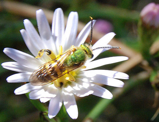 green bee  - Agapostemon texanus - male