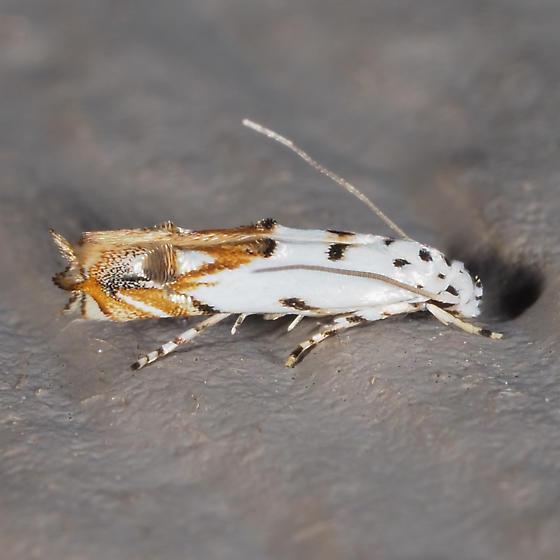 Red-streaked Mompha - Mompha eloisella