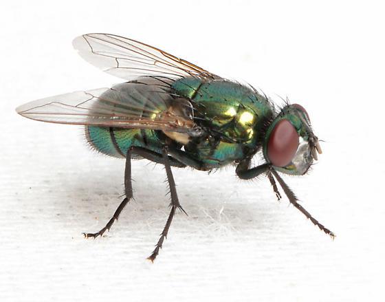 Green fly - Neomyia cornicina