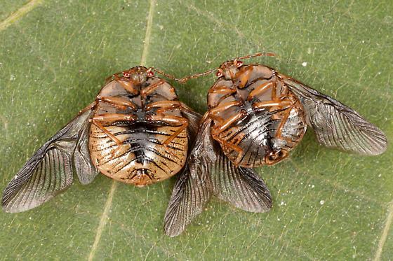 Globular Stink Bug Sexual Dimorphism - Megacopta cribraria - male - female