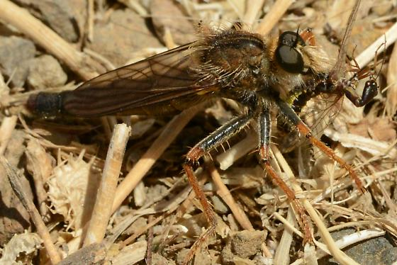 Orange Legged Robberfly