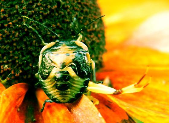 Blackish Brown Beetle - Dog-face on back