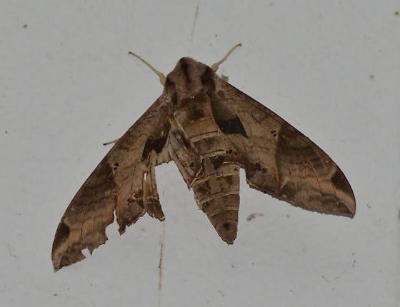 Eumorpha satellitia