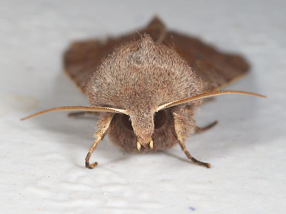 Furry Brown Moth - Orthosia hibisci