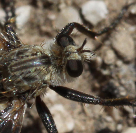 Robber Flies - Lestomyia - male - female