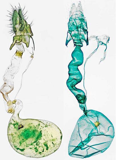 genitalia - Acleris stadiana - female