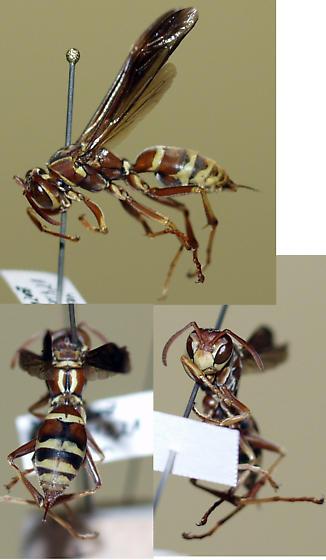 Probably Polistes bellicosus - Polistes bellicosus - female