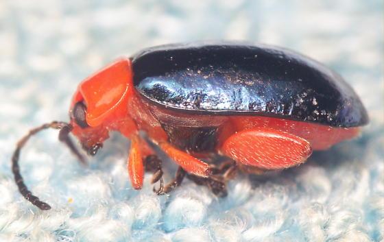 Shining Flea Beetle - Asphaera lustrans