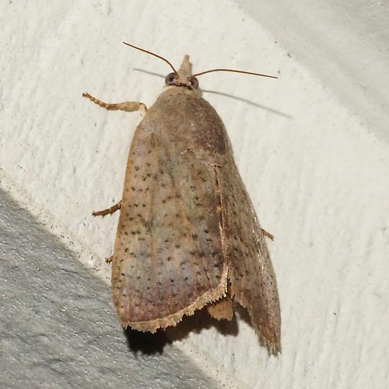 ID Request Hodges - # 6088 – Hyblaea puera – Teak Defoliator Moth? - Hyblaea puera