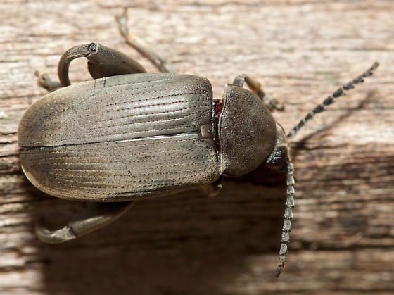 Slightly iridescent black beetle - Pachymerus nucleorum