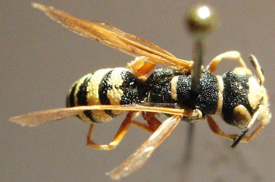 Philanthus ventilabris - female