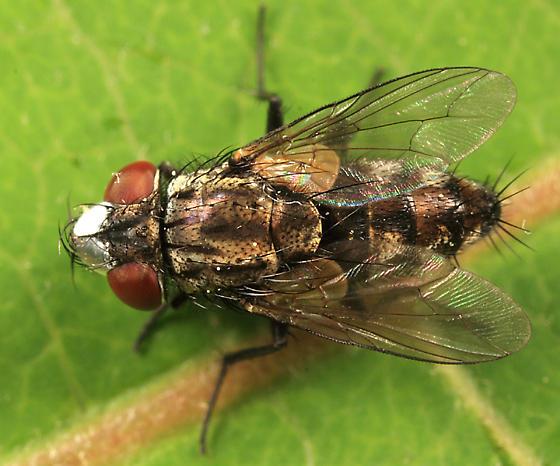 Satellite Fly - Metopia argyrocephala - male