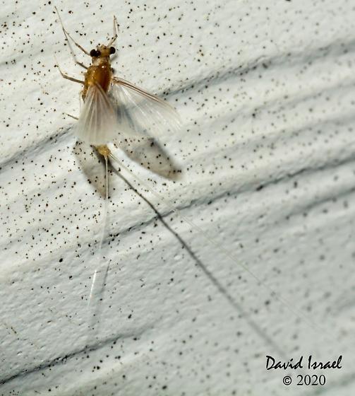 Ephemeroptera - Caenis - female
