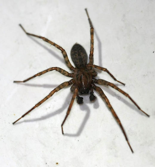 Basement Spider   Coras   Male