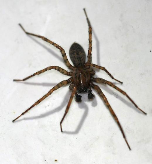 Basement Spider