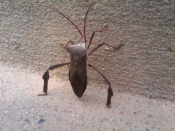 Triangle Bug - Acanthocephala declivis