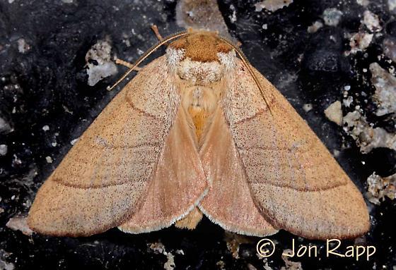 Moth - Datana perfusa