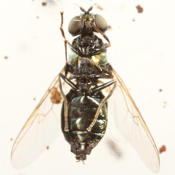 Green fly - Microchrysa polita