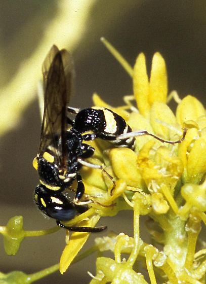 Wasp, possibly Eumeninae? - Philanthus gibbosus