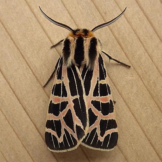 Erebidae: Apantesis ornata - Apantesis ornata