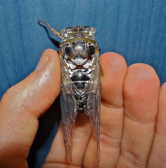 Unknown Cicada - Megatibicen auletes