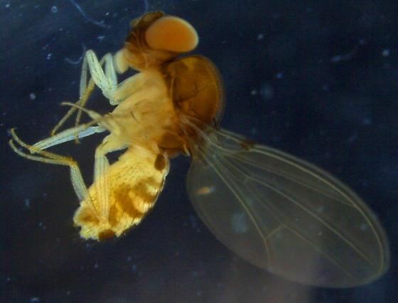 Drosophilidae - Mycodrosophila