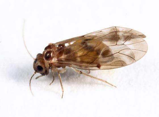 barklouse - Peripsocus subfasciatus - female