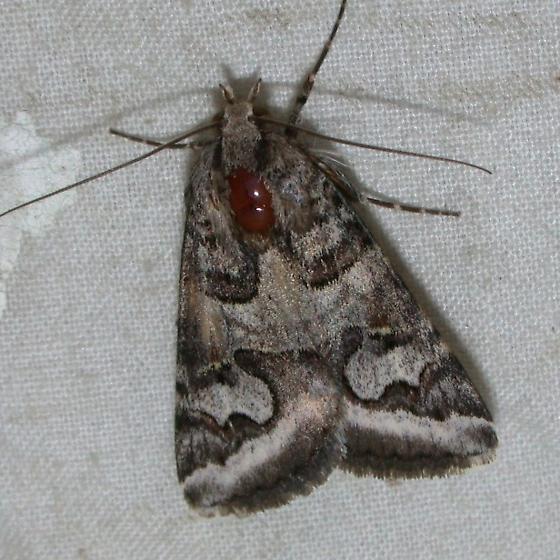 Graphic Moth - Drasteria graphica