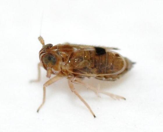Delphacodes puella