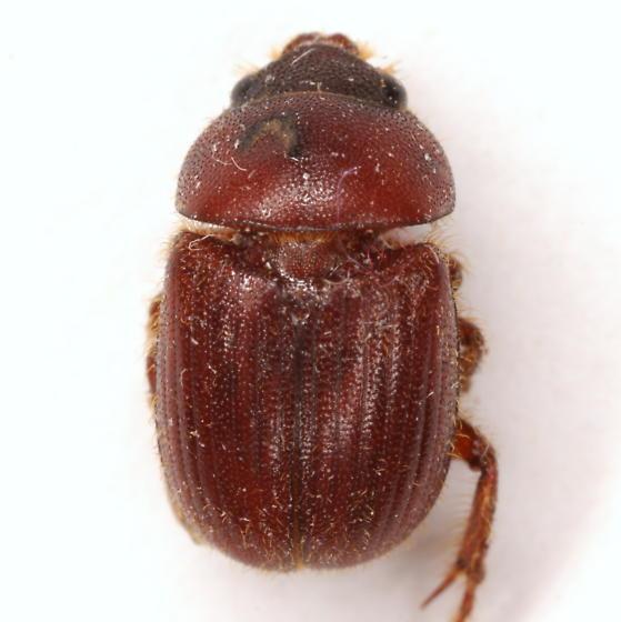 Parochodaeus biarmatus (LeConte) - Parochodaeus biarmatus