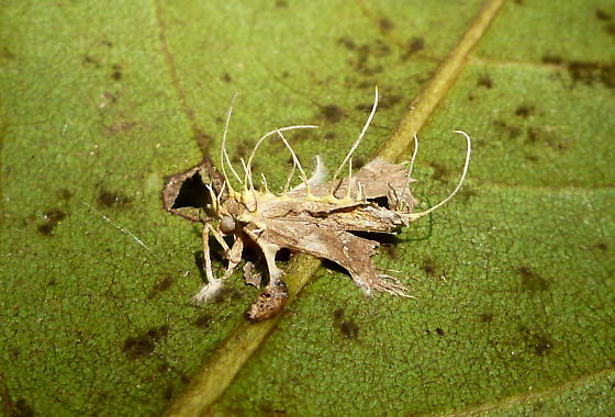 Dead moth with fungus