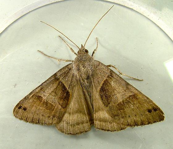 Caenurgina erechtea - Forage Looper - 8739 - Caenurgina erechtea